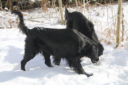 雪の中で遊ぶフラットコーテッド・レトリバー