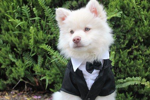 結婚式に出席するためにドレスアップした犬