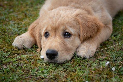 ゴールデン・レトリバーの子犬