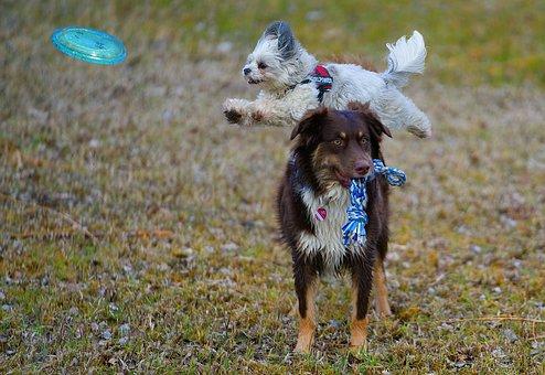 子犬と遊ぶオーストラリアン・シェパード