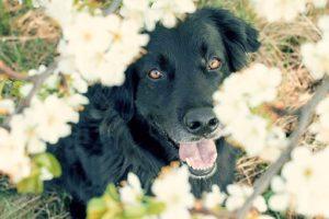 サクラと黒い犬