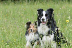草原にいるボーダーコリーとシェルティ