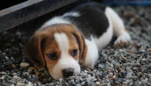 ビーグルの子犬