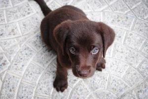 チョコレート色のラブラドール・レトリバー